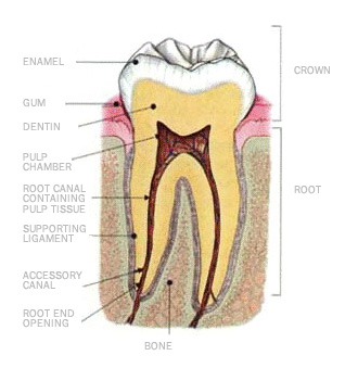 tooth-right